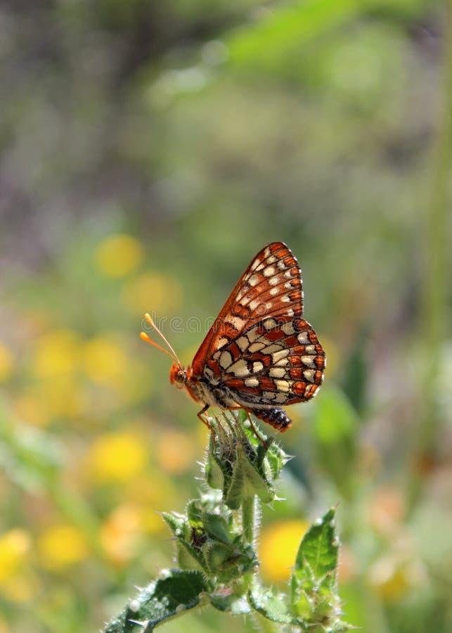 De vlinder van Chalcedoncheckerspot op blad stock afbeelding