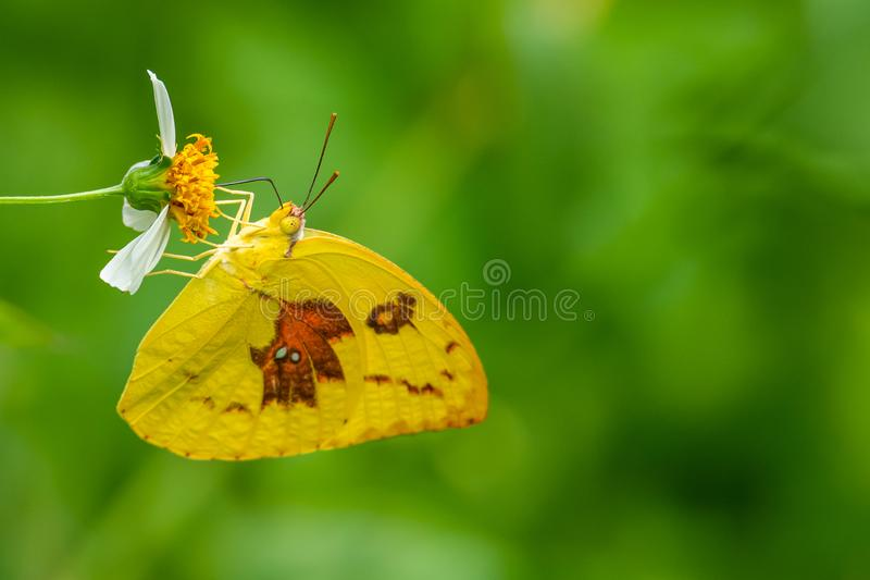 De vlinder van de citroenemigrant gebruikend zijn probostic om de nectar van de bloem te verzamelen stock afbeeldingen
