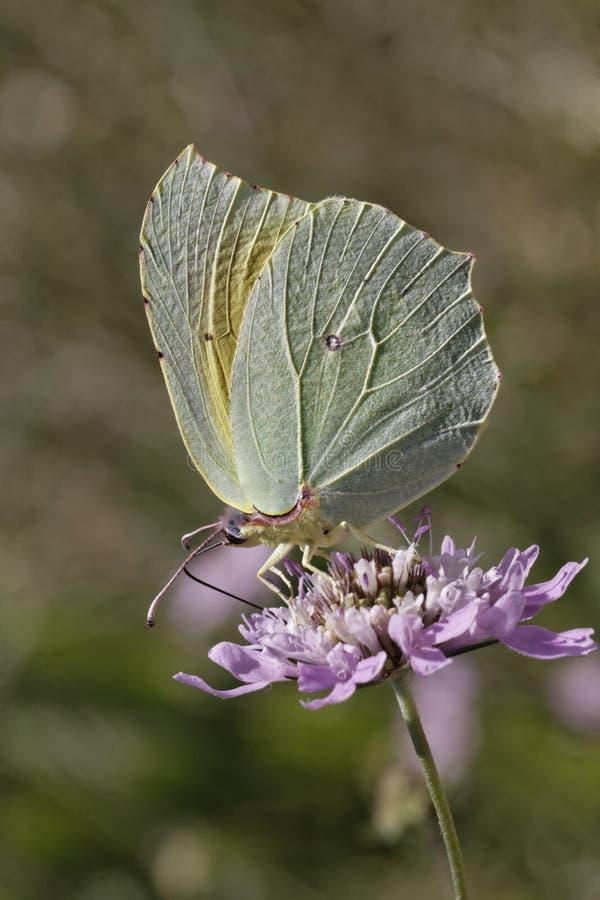 De vlinder van Cleopatra van Zuidelijk Europa royalty-vrije stock fotografie