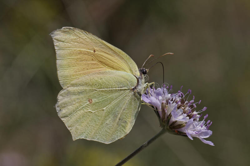 De vlinder van Cleopatra van Zuidelijk Europa stock foto