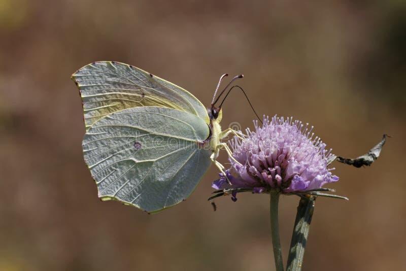 De vlinder van Cleopatra van Zuidelijk Frankrijk, Europa royalty-vrije stock foto