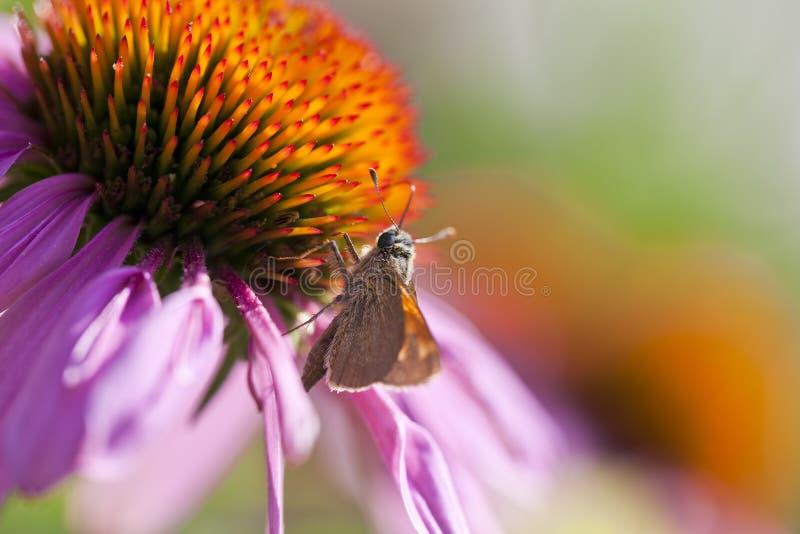 De Vlinder van Coneflower en van de Kapitein stock afbeelding