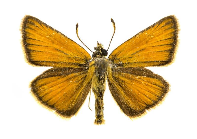 De vlinder van de Essexkapitein stock fotografie