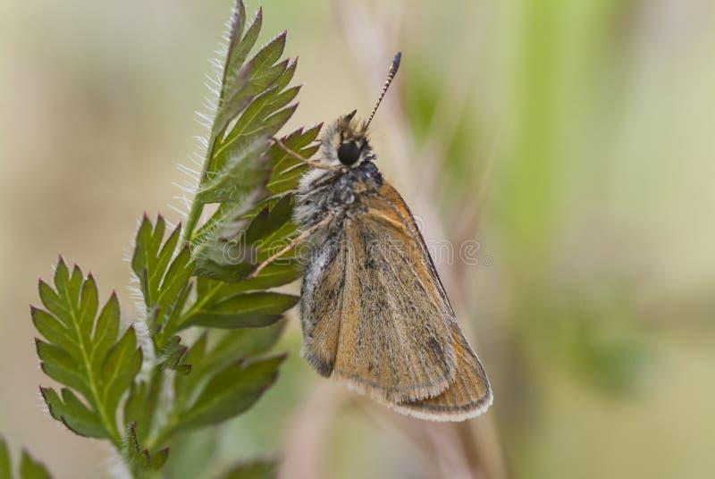 De Vlinder van de Essexkapitein op blad, Thymelicus-lineola royalty-vrije stock foto