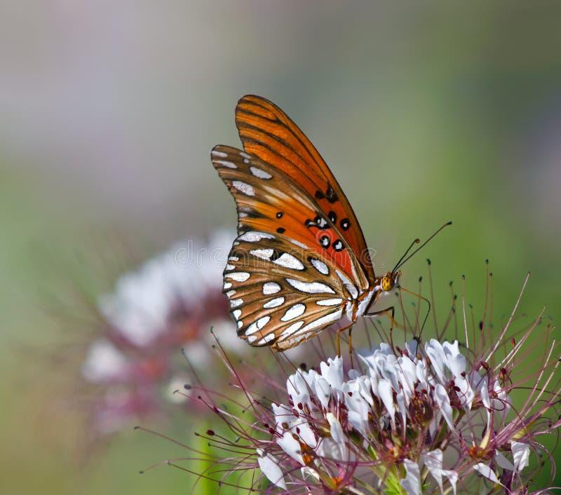 De vlinder van de golf van Fritillary (vanillae Agraulis) stock afbeelding