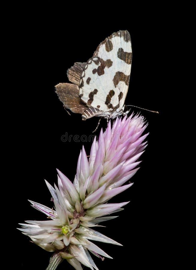 De vlinder van de hoekpierrot stock foto's
