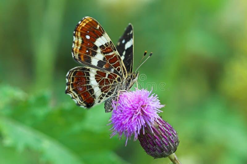 De Vlinder van de kaart, het kroost van de Zomer stock afbeelding
