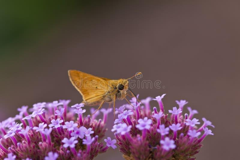De Vlinder van de kapitein stock foto