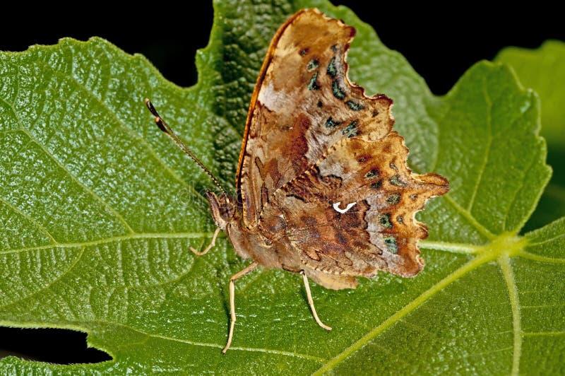 De vlinder van de komma stock foto's