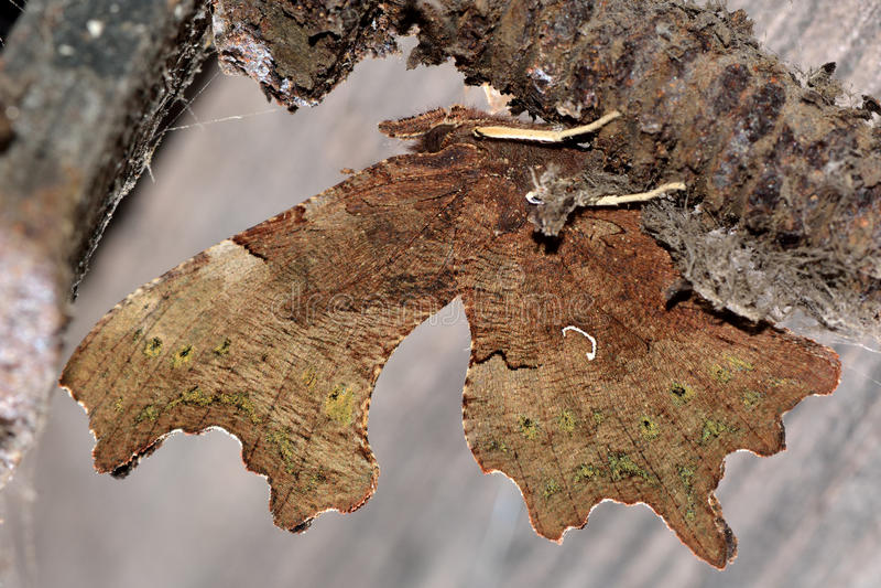 De vlinder van de komma (c-Album Polygonia) stock fotografie