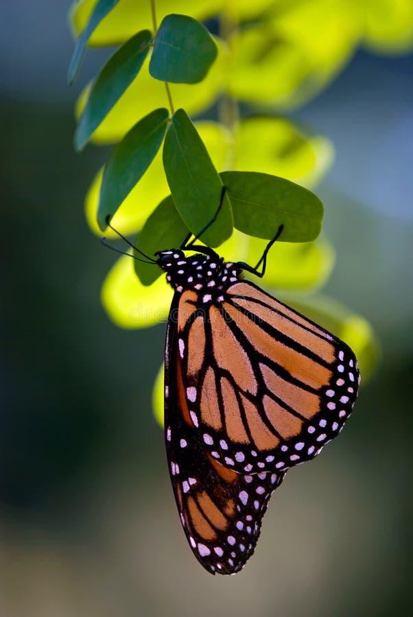 De vlinder van de monarch, danausplexippus royalty-vrije stock foto