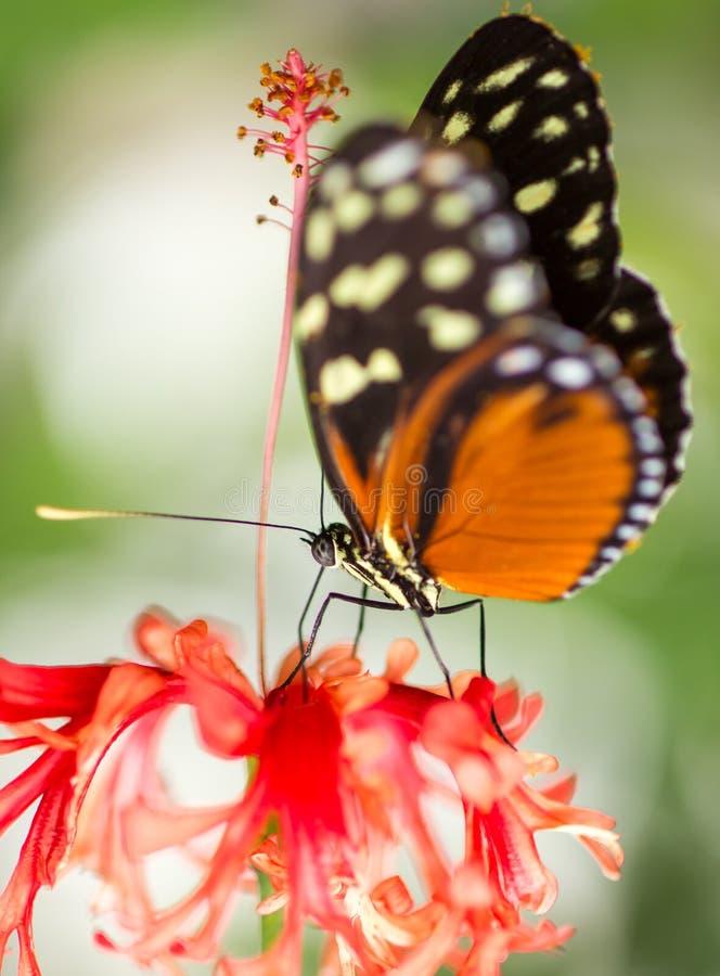 De vlinder van de monarch op bloem stock foto's