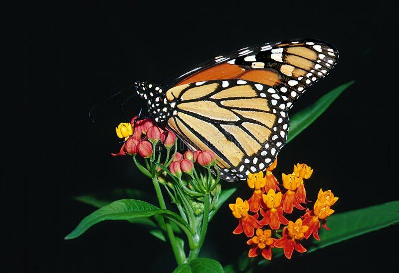 De Vlinder van de monarch op Bloodflower stock afbeelding