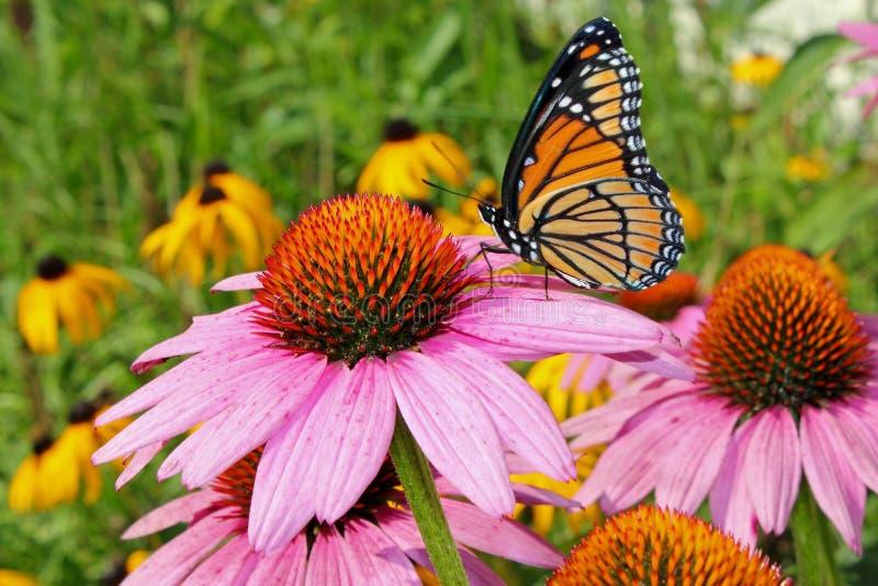 De vlinder van de monarch op coneflower royalty-vrije stock foto