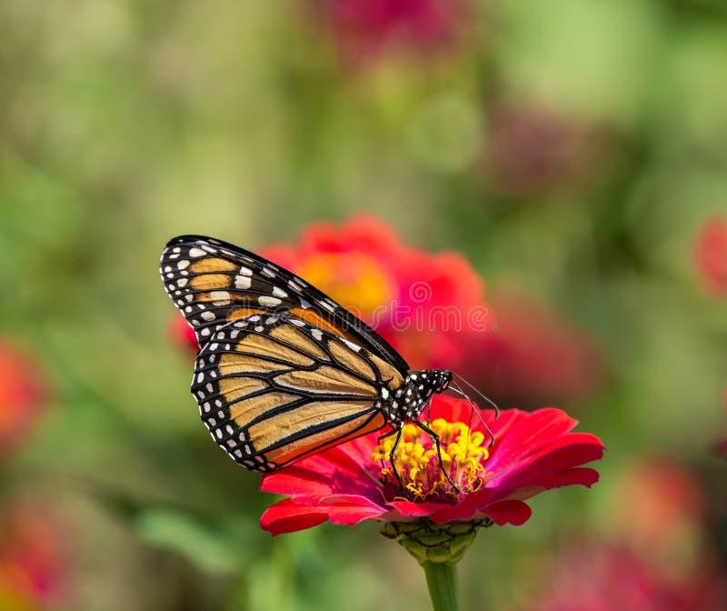 De vlinder van de monarch op de bloem van Zinnia stock afbeelding