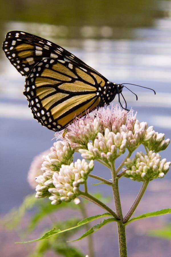 De Vlinder van de monarch op Joe Pye Weed stock foto's