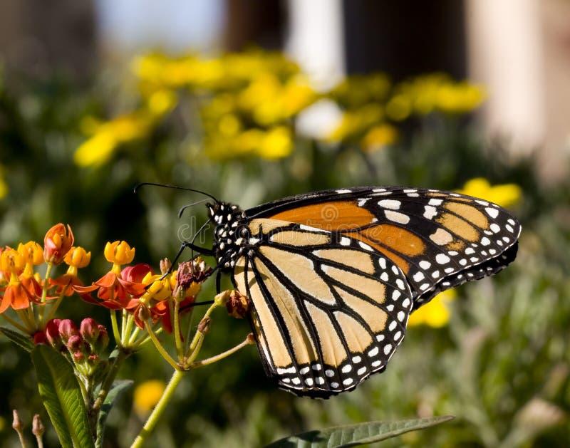 De Vlinder van de monarch op Milkweed stock fotografie