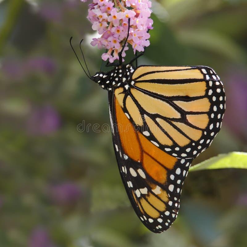 De Vlinder van de monarch op Vlinder Bush royalty-vrije stock foto's