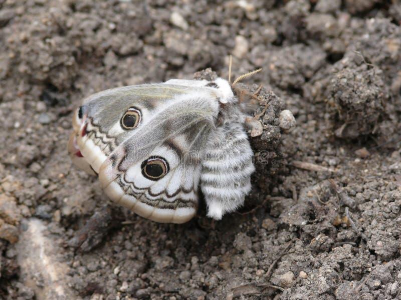 De vlinder van de nacht. Een mot. royalty-vrije stock foto's