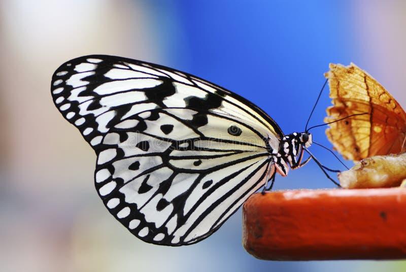 De Vlinder van de Nimf van de boom stock fotografie