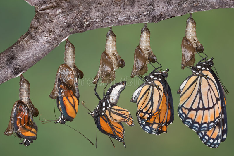 De vlinder van de onderkoning het te voorschijn komen stock foto's