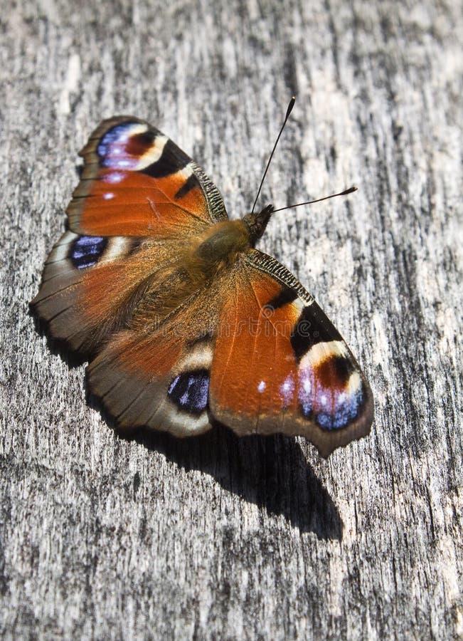 De vlinder van de pauw royalty-vrije stock afbeeldingen