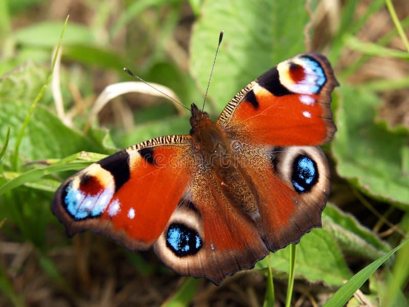 De vlinder van de pauw stock fotografie
