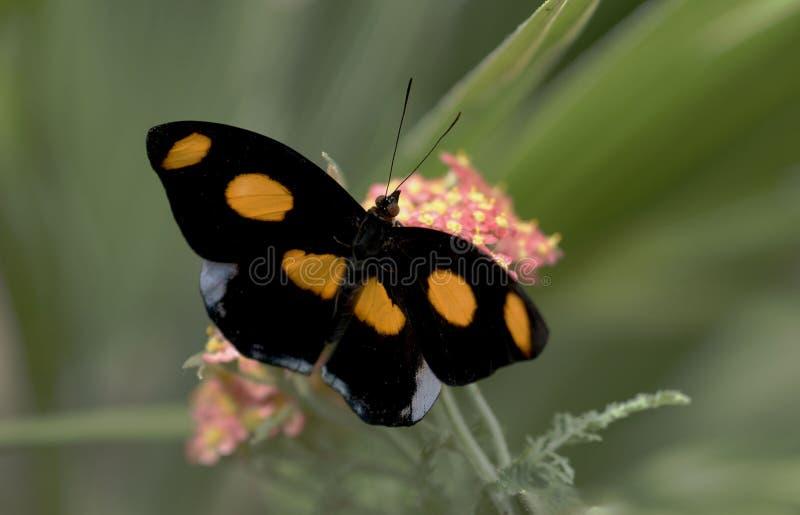 De Vlinder van de Schoenmaker van Grecian stock foto
