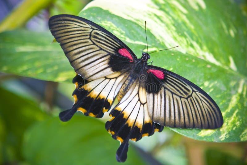 De vlinder van de staart stock foto's