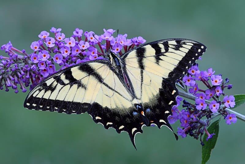De Vlinder van de tijger van Swallowtail (papilioglaucas) royalty-vrije stock fotografie