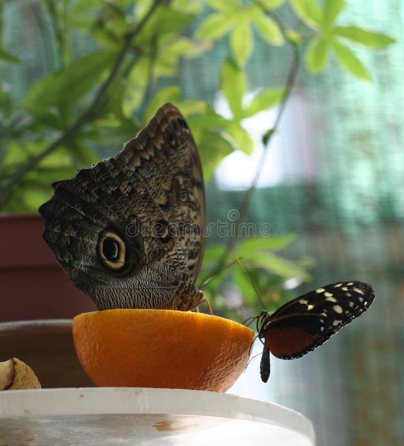 De Vlinder van de uil royalty-vrije stock foto