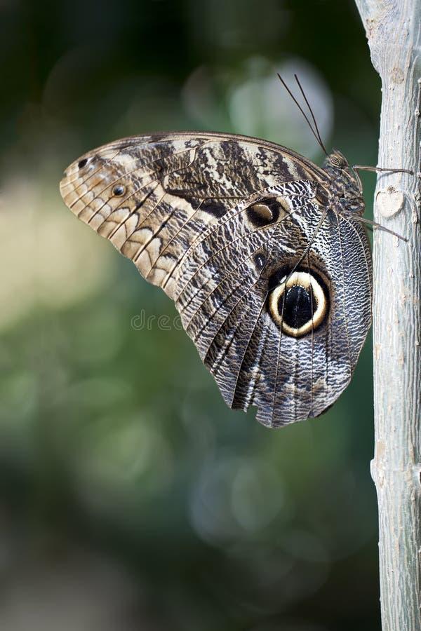 De Vlinder van de uil royalty-vrije stock afbeeldingen