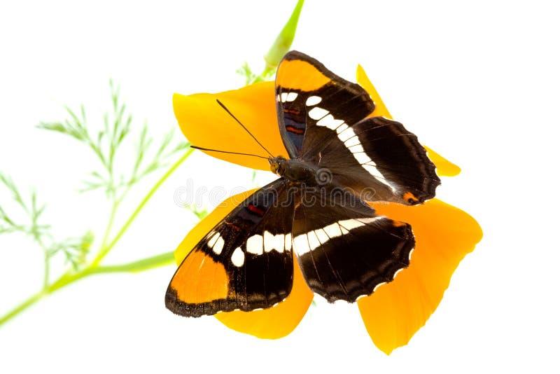 De Vlinder van de Zuster van Californië op Papaver royalty-vrije stock foto