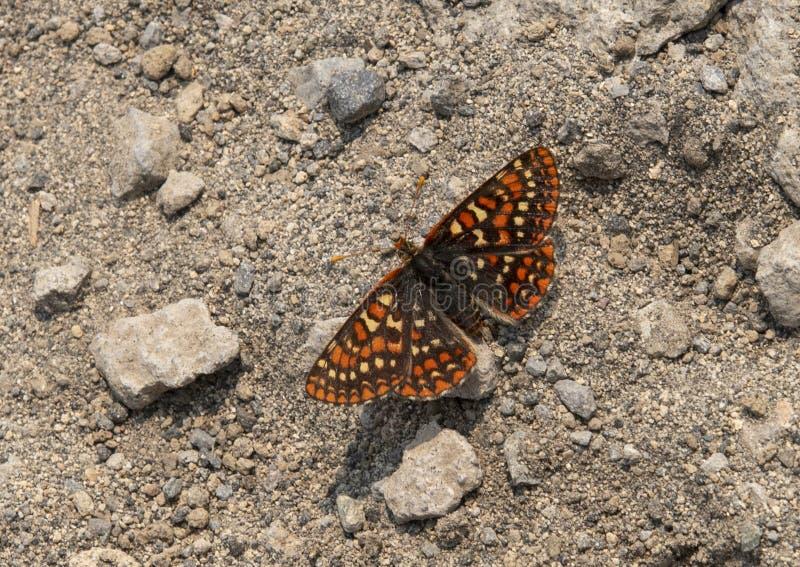 De vlinder van Edith ` s Checkerspot, zet Rainier National Park, Washington op royalty-vrije stock foto