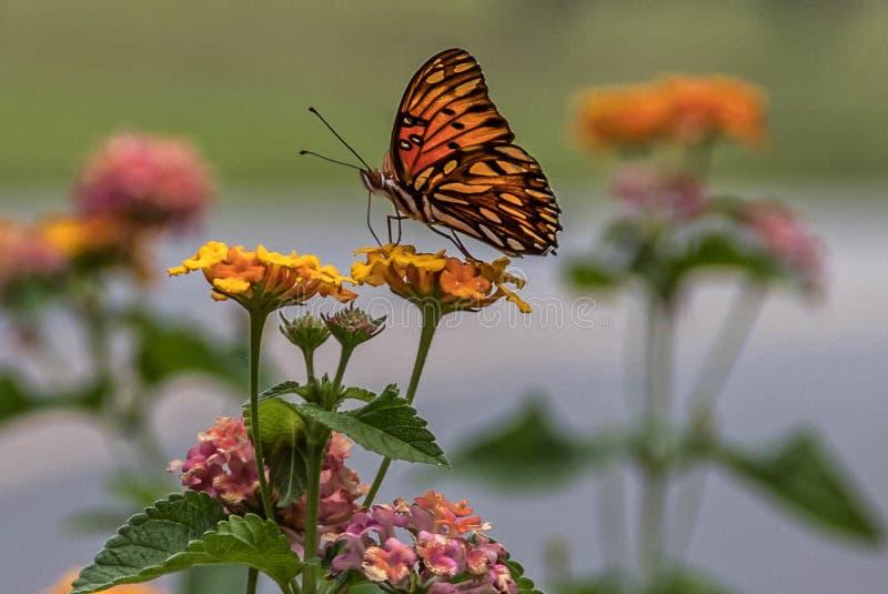 De vlinder van Fritillary van de golf royalty-vrije stock foto