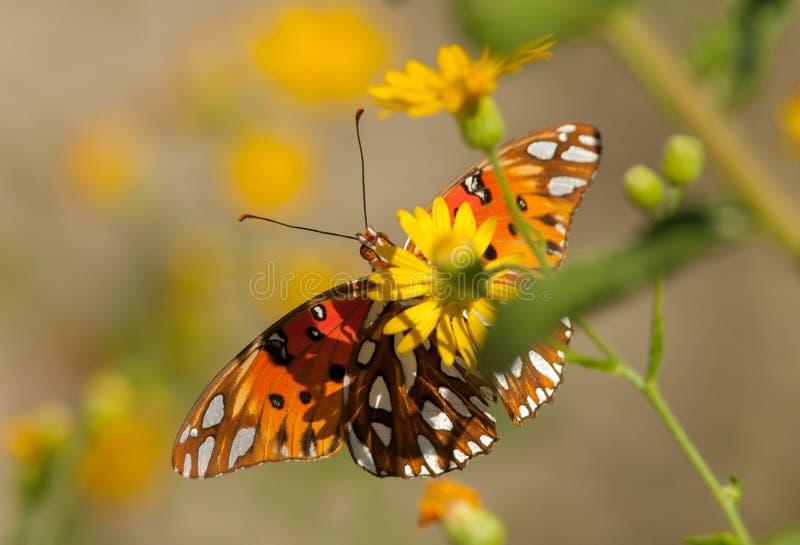 De vlinder van Fritillary van de golf stock fotografie