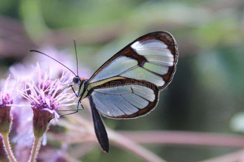De vlinder van Glasswinged royalty-vrije stock afbeelding