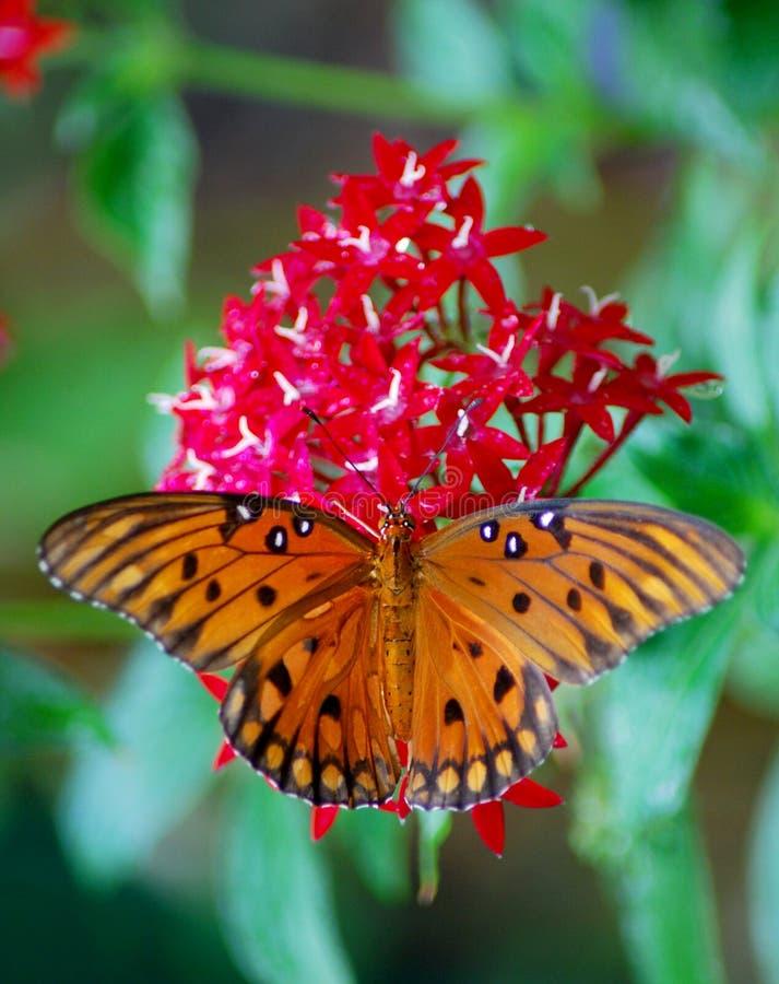 De Vlinder van golffratiliary op Lantana voor Lunch royalty-vrije stock foto's