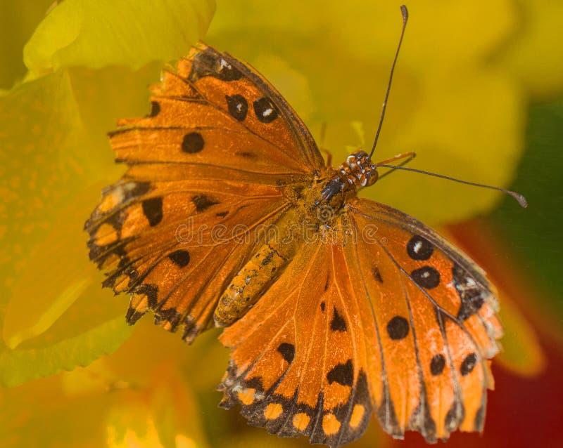 De Vlinder van golffritillary met Gebroken Vleugels op Gele Nectar Flower in de Woestijn van Arizona royalty-vrije stock foto's