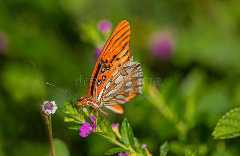De Vlinder van golffritillary op Mexicaanse Heather Flower, Seminole, Florida royalty-vrije stock foto