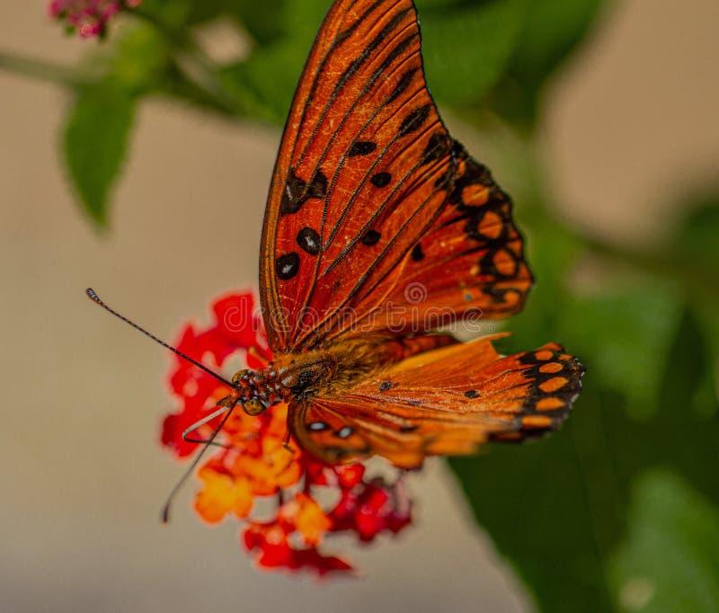 De Vlinder van golffritillary op Oranje Lantana-Bloem, Seminole, Florida royalty-vrije stock foto's