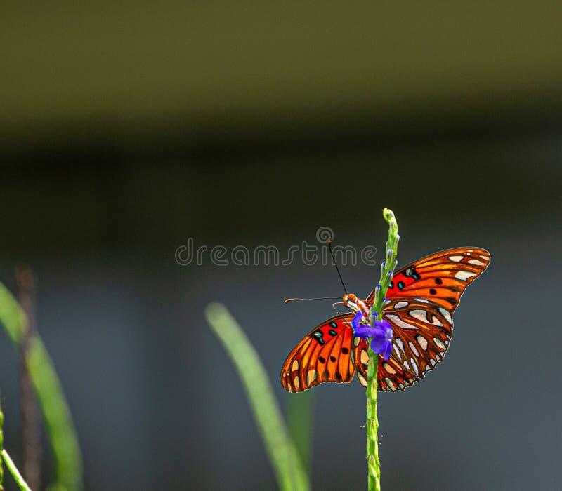 De Vlinder van golffritillary op Porterweed-Bloem, Seminole, Florida stock afbeelding