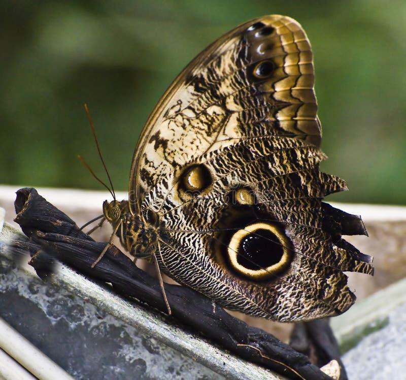 De Vlinder van Grayling stock fotografie