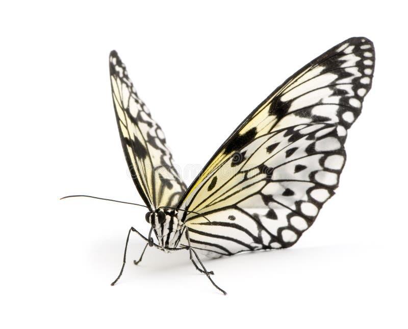 De vlinder van het idee leuconoe royalty-vrije stock afbeelding