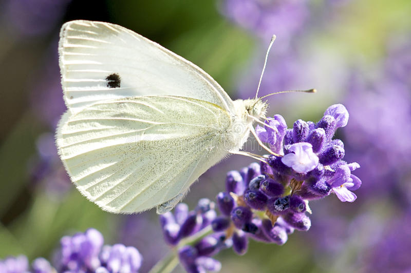De Vlinder van het Koolwitje op de Installatie van de Lavendel stock fotografie