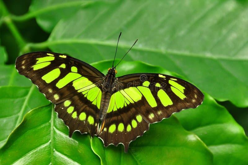 De vlinder van het Malachiet stock fotografie