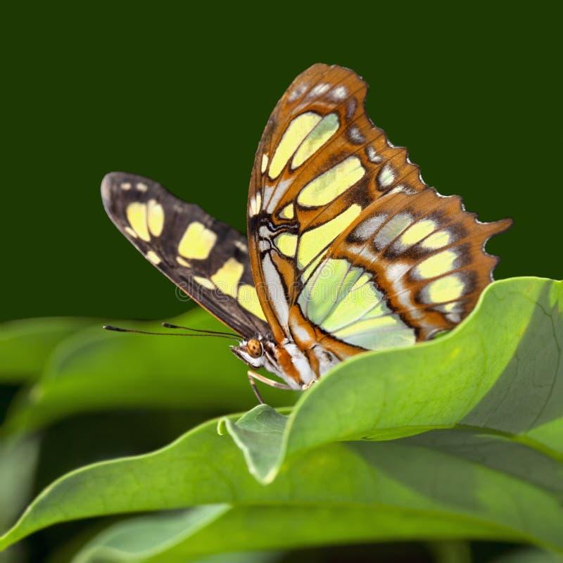 De Vlinder van het malachiet stock foto's