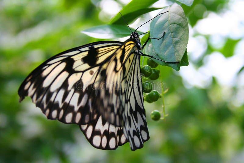 De Vlinder van het rijstpapier stock afbeeldingen