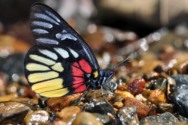 De vlinder van het roodborstje jezebe stock afbeeldingen