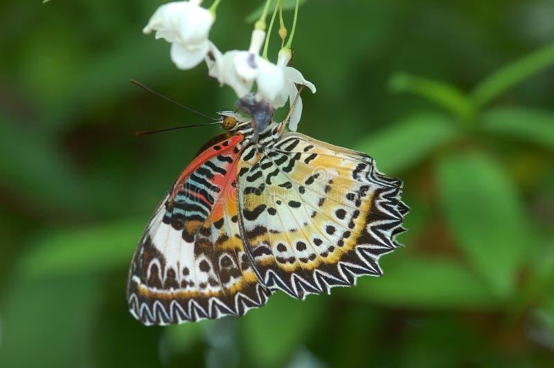 De Vlinder van Lacewing van de luipaard stock afbeeldingen
